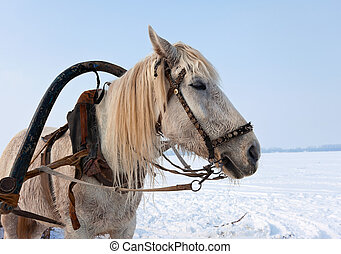 Head of white horse with harness.
