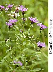 cornflower - cluster with purple cornflower in nature