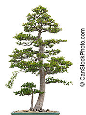 Elegant bonsai elm tree on white background