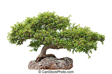 Green bonsai tree growing on a rock - Chinese elm, green...