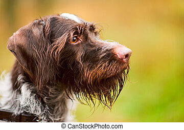 German wire-haired pointer - Dog watching to the right,...