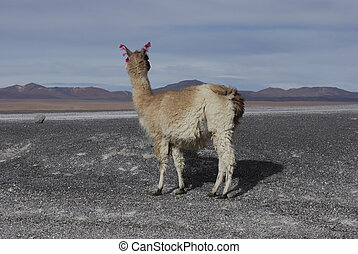 The lonely lama