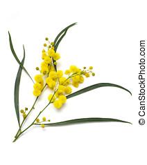 Wattle - Australian Wattle (acacia) blooms isolated on white...