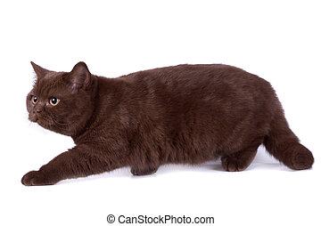 The British cat - The British chocolate cat on white...
