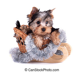 Yorkshire terrier - The Yorkshire terrier puppy on white...