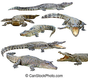 crocodile isolated - collection of crocodile isolated on...