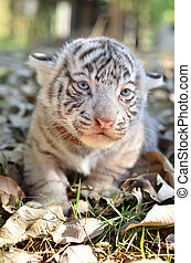 baby white tigger - baby white tiger in zoo