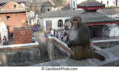 Monkey Nepal