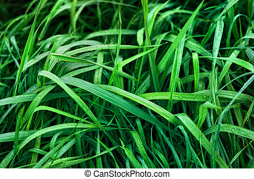 Green sedge - The green grass was wet with dew