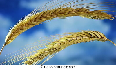 Wheat - Close-up of wheat on blue sky background