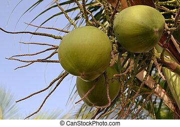 coconut-fruits-with-bluesky - close up image of coconut...