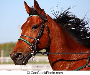 Harness Racing Pacer - Standardbred Pacer after the race
