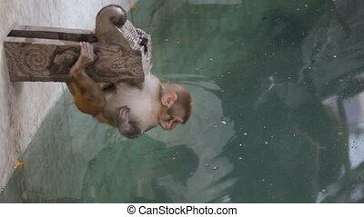 Monkey drinking water.
