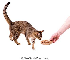 Beautiful bengal cat eats cat-like meal