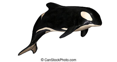 Killer Whale - Illustration of a killer whale isolated on a...