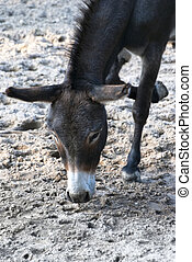 Donkey or ass, domesticated member of the Equidae or horse...