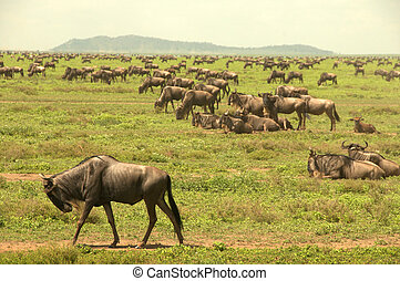 Wildebeest in the Serengeti - Wildebeest migration in the...