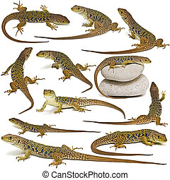 Set of lizards isolated over white - Set of lizards isolated...