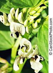 largo, feijão, flor, planta
