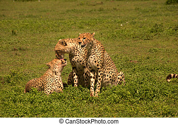Cheetahs licking each other's wounds