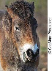 Portrait of Exmoor Pony