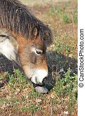 Exmoor pony feeding on scrub