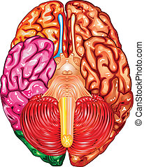 Human brain underside view vector - Illustration body part...