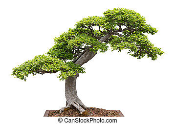 Green bonsai tree on white background - Chinese elm. Green...