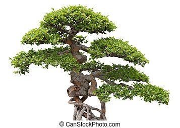 Bonsai, green elm tree on white background