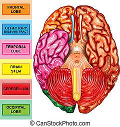 cerebro, humano, cara inferior, vista