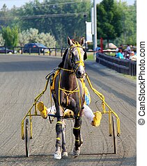 Pre Race Warm-up - Greyy Harness racing Pacer slowing down...