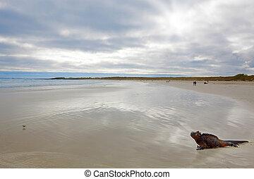 Galapagos marine Iguana - A marine iguana walking on the...