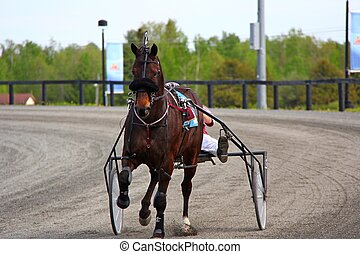 Harness Pacer Before the Race - Harness racing Pacer warming...