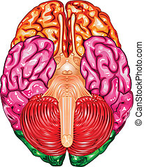 cerebro,  vector, humano, cara inferior, vista