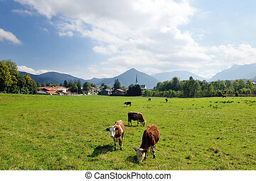 cow animal on field - cow farm animal and field of fresh...