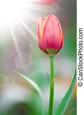 primavera, sol,  tulips