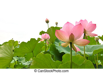 Blossom pink lotus flowers