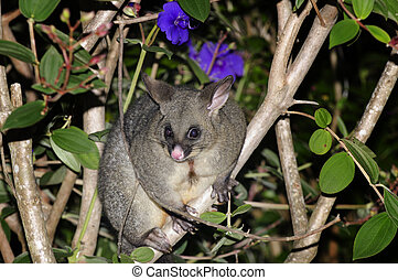 Possum - The Australian brushtailed possum sits on a forest...