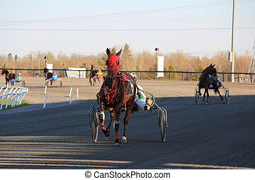 Pacer Warming Up - Standardbred horse waming up for race