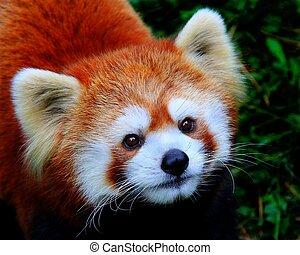 Red Panda - Portrait of Red Panda