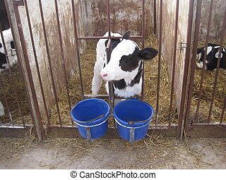 Baby cow in stall - A baby calf in a feeding stall at a...