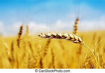 dourado, colheita, fim, cima