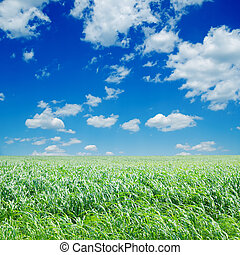 field with green Sudan grass under deep blue sky with clouds