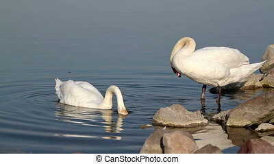 Swans - White swans on the water