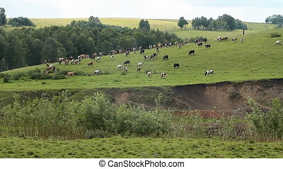 Cows 006 - The Cows on pasture.