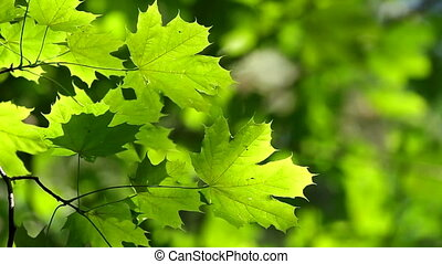 Maple leaves - Fresh green maple leaves
