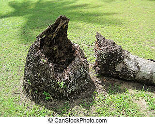 Base of dead palm tree - Base and trunk of dead palm tree...