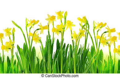 Narcissus and daffodil isolated