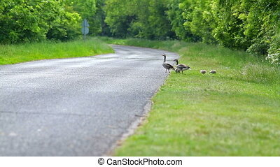 Goose family passes on the way
