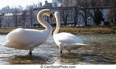 White swans in the city park